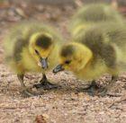 duckling-2659938_960_720